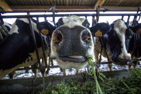 Bovini nutriti con erba verde