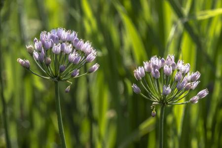 Alium angolosum, rara pianta tipica dei bordi di marcita - Parco del Ticino