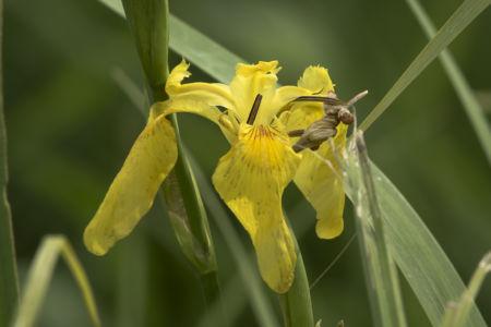 Iris - Parco del Ticino