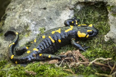 MTessaro - Salamandra