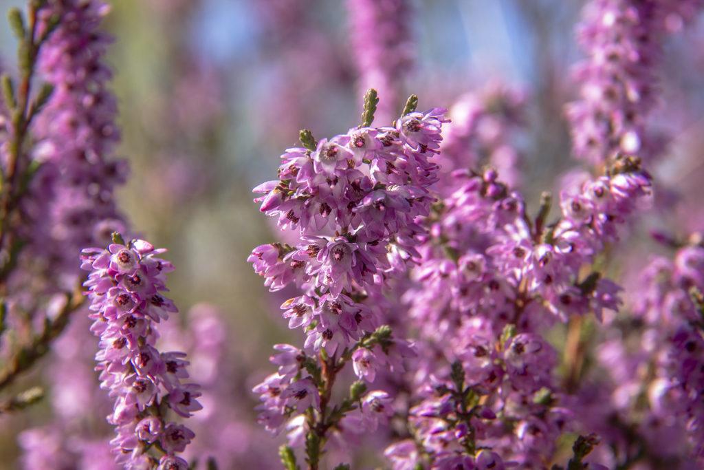 Brugo (Calluna vulgaris ), Parco del Ticino